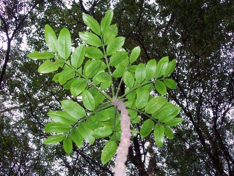 Dysoxylum pachyphyllum