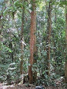 Dysoxylum parasiticum httpsuploadwikimediaorgwikipediacommonsthu
