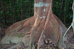 Dysoxylum pettigrewianum httpsuploadwikimediaorgwikipediacommonsthu