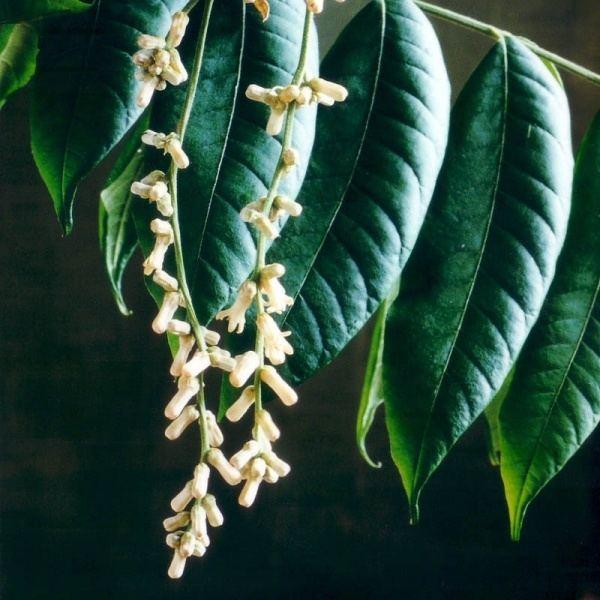 Dysoxylum rufum Dysoxylum rufum Noosa39s Native Plants