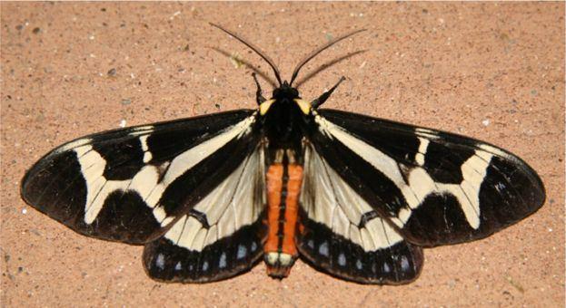Dysschema Northern Giant Flag Moth Dysschema howardi Hy Edwards 1887
