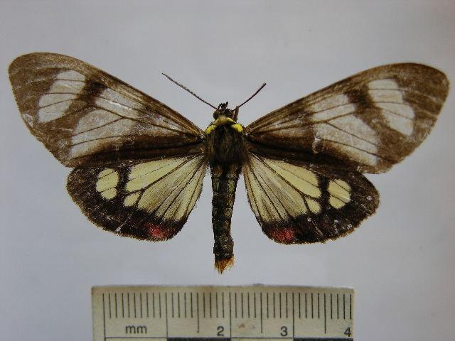 Dysschema flavopennis