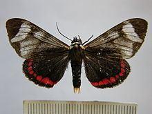 Dysschema leucophaea httpsuploadwikimediaorgwikipediacommonsthu