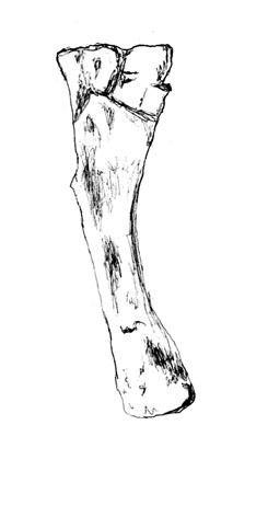 Dystrophaeus httpsuploadwikimediaorgwikipediacommons77