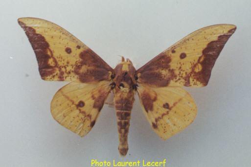 Eacles butterfliesfreeserverscomsaturnidaeeaclesimpe