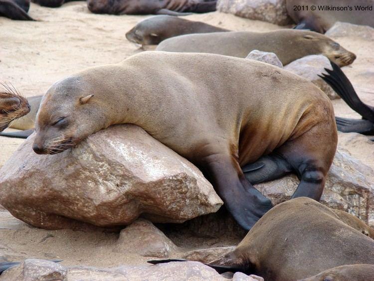 Eared seal - Alchetron, The Free Social Encyclopedia