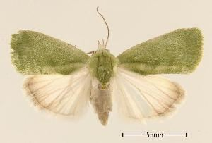 Earias BOLD Systems Taxonomy Browser Earias insulana species