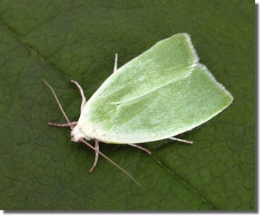 Earias clorana Hants Moths 74011 Creambordered Green Pea Earias clorana