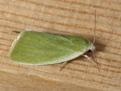Earias clorana Lepidopterano Earias clorana Creambordered Green Pea