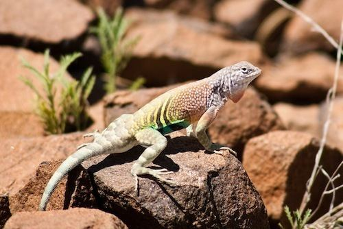 Earless lizard Earless Lizard for Sale Reptiles for Sale