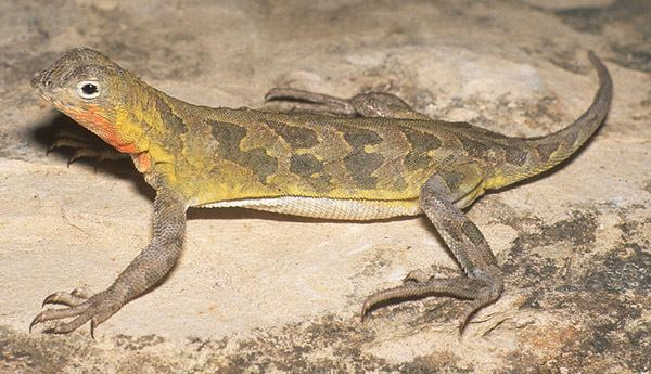 Earless lizard Spottail earless lizard WildEarth Guardians