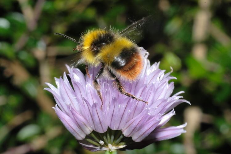 Early bumblebee beechiveelmarit60mm9840JPGm1402961315