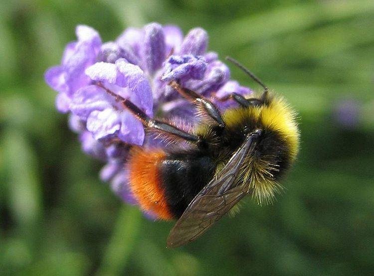 Early bumblebee Bombus pratorum Early bumblebee Pyrobombus pratorum