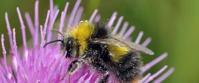 Early bumblebee The Wildlife Trusts