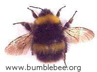 Early bumblebee Bombus pratorum the Early bumblebee