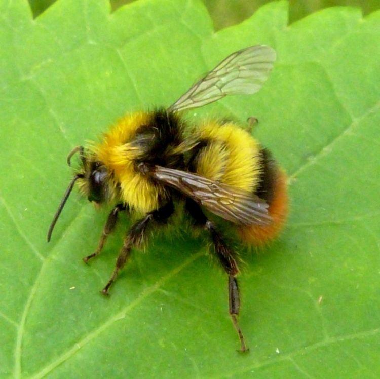 Early bumblebee Early Bumblebee Bombus pratorum NatureSpot