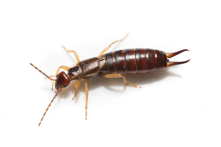Earwig How to Get Rid of Earwigs from Your House