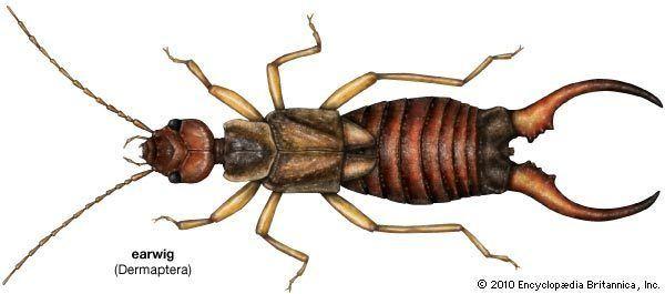 Earwig earwig insect Britannicacom