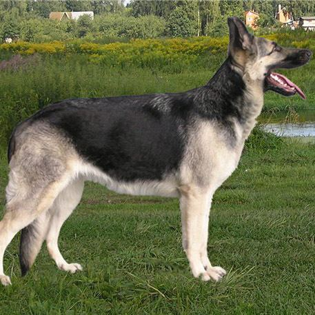 East-European Shepherd EastEuropean Shepherd Breed Guide Learn about the EastEuropean