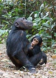 Eastern chimpanzee httpsuploadwikimediaorgwikipediacommonsthu