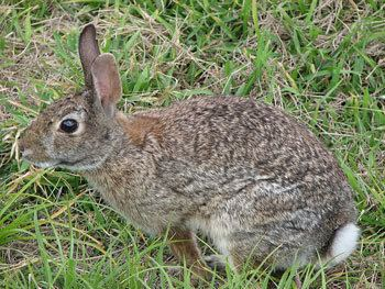 Eastern cottontail Eastern Cottontail The Animal Files