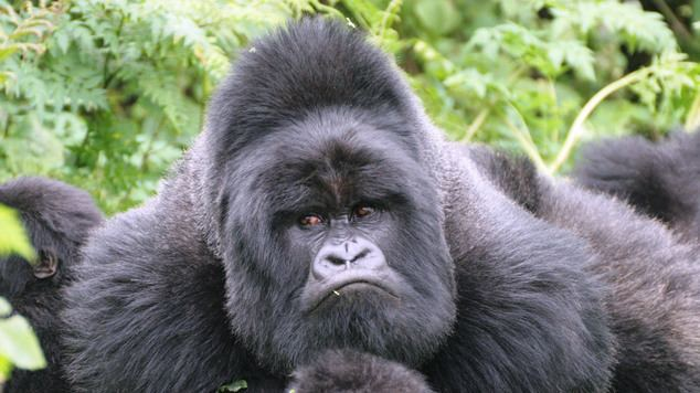 Eastern gorilla Eastern gorillas listed as one step from extinction Daily Mail Online