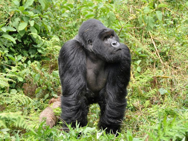 Eastern gorilla Eastern Gorilla Gorilla Facts and Information