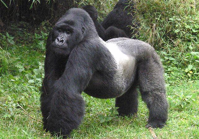 Eastern gorilla Eastern Gorilla Species Now RedListed As 39Critically Endangered