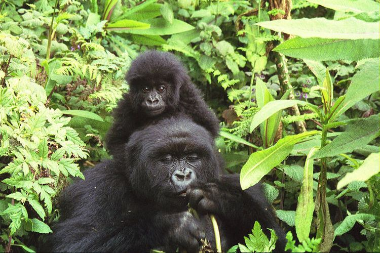 Eastern gorilla Eastern Gorilla Gorilla Berengei Animals AZ Animals