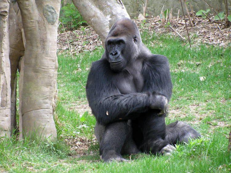 Eastern gorilla 1bpblogspotcom05b9aDFhe8YTwpi3QFbBtIAAAAAAA