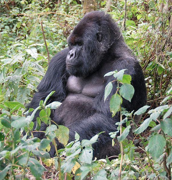 Eastern gorilla Picture 4 of 7 Eastern Gorilla Gorilla Berengei Pictures