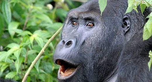 Eastern lowland gorilla Grauer39s gorilla Fauna amp Flora International