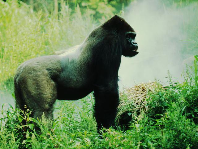 Eastern lowland gorilla Eastern Lowland Gorilla Species WWF
