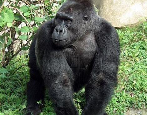 Eastern lowland gorilla 1bpblogspotcom6XIvJC2Js0Twpg0eBCYIAAAAAAA