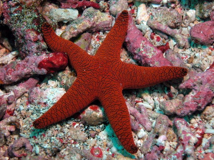 Echinoderm Echinoderms starfish brittle star sea urchin feather star sea