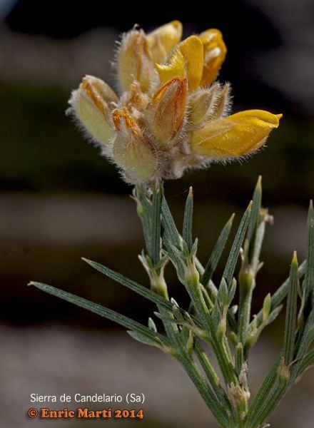 Echinospartum Leguminosae Echinospartum ibericum Flores Silvestres del Mediterrneo
