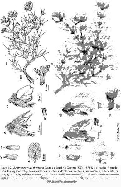 Echinospartum Flora Vascular Toda la informacin detallada sobre la Flora