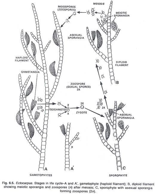 Unilocular sporangia ectocarpus asexual reproduction