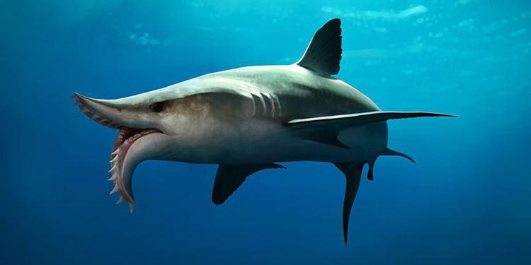 Edestus Scissortooth shark Edestus thrashed its prey to Earth Archives
