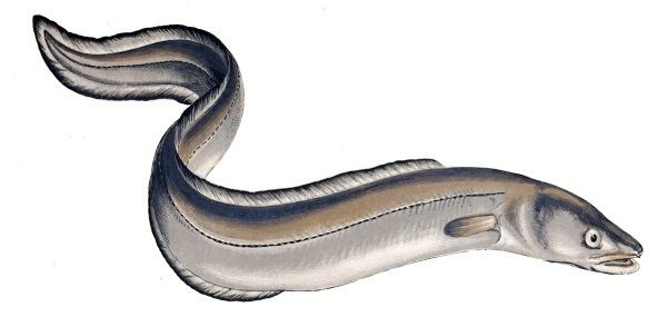 Eel Scandinavian Eel Discover Scandinavia