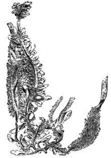 Egregia menziesii httpsuploadwikimediaorgwikipediacommonsthu