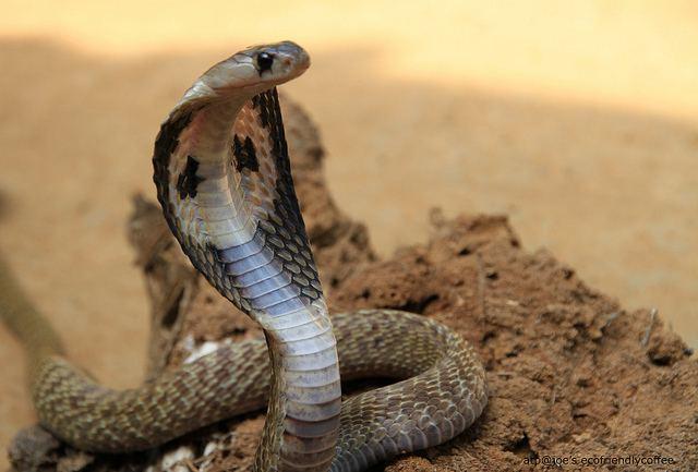 Egyptian cobra Snakes Egyptian Cobra