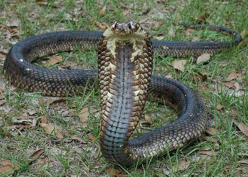 Egyptian cobra Egyptian Cobra Facts and Pictures Reptile Fact