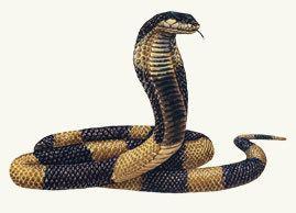 Egyptian cobra Cryptomundo Egyptian Cobra Escapes From Bronx Zoo
