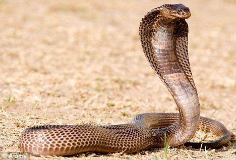Egyptian cobra Isis Lady of the Holy Cobra Isiopolis