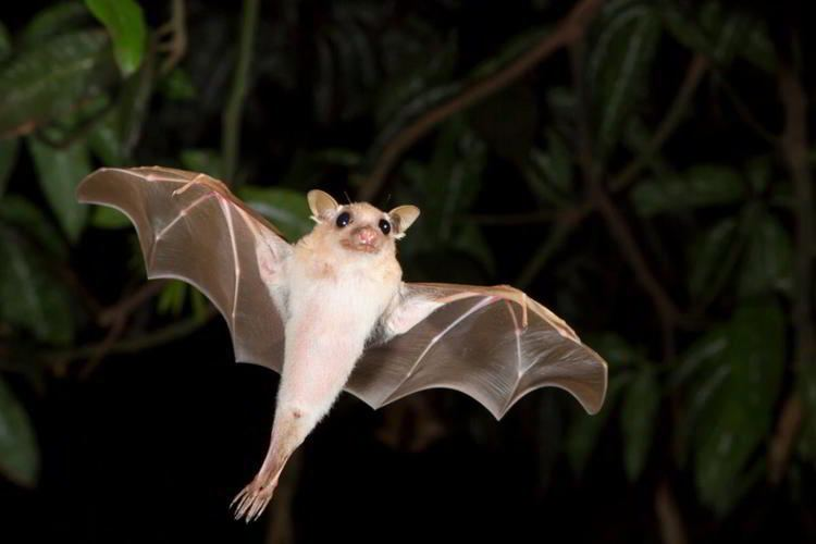 Egyptian fruit bat Exceptionally Enthralling Facts About the Egyptian Fruit Bat