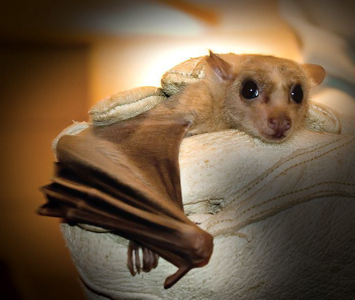 Egyptian fruit bat 1000 images about Egyptian Fruit bat on Pinterest The cleveland