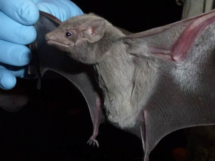 Egyptian tomb bat Deadly new MERS virus traced to Egyptian tomb bat NBC News
