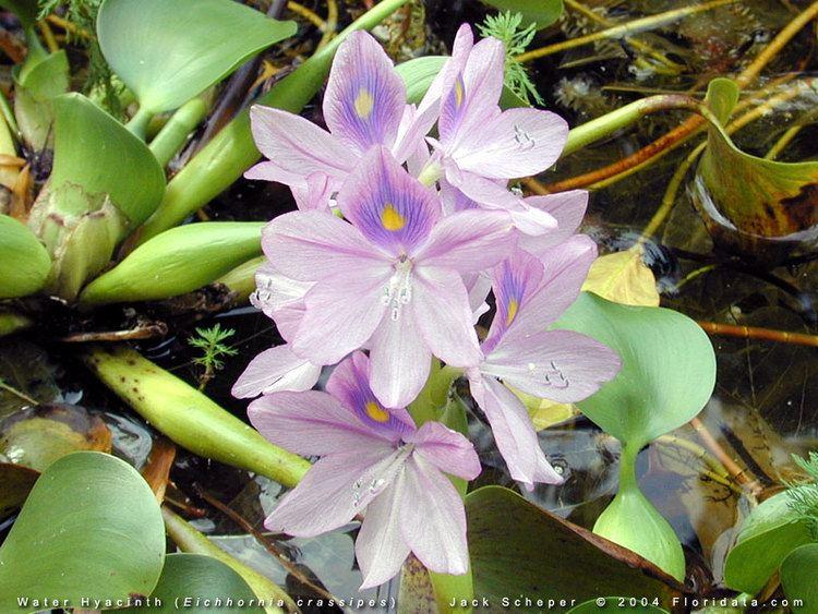Eichhornia imagesfloridatacomgalleryEichhorniacrassipes8