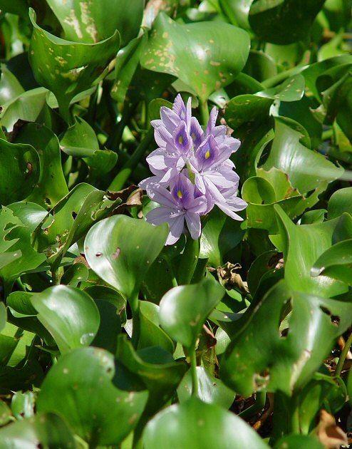 Eichhornia Eichhornia crassipes page